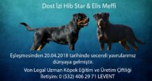 Dost İzi Hib Star & Elis Meffi Yavruları